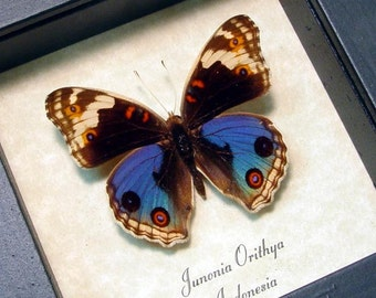 Real Framed Junonia Orithya Male Blue Pansy Butterfly Shadowbox Display 102