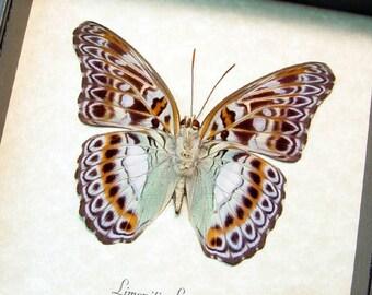 Real Framed Limenitis Lymire Verso Butterfly Shadowbox Display 589V