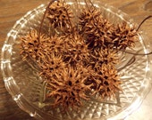 Sweet Gum Witches Burrs, Nature Crafted Protective Seed Pods, Amulet, Milady Leela