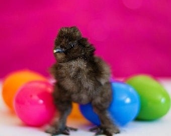Easter Photography chick Spring baby chicken eggs nursery decor colorful bright purple pink little animal kids children art black grey gray