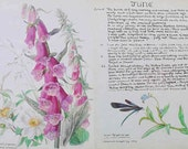 Vintage Print. Vintage book print. Vintage Botanical Book Plate. Original 1970s Book Plate. Drawing from a Naturalists Diary in 1906