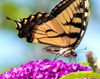 Butterfly photograph tiger swallowtail  Flying tiger yellow and black butterfly photo new england summer home decor