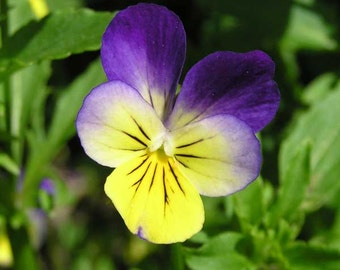 Viola Tricolor Seeds - Untreated and Non-GMO