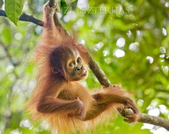 Safari Nursery Decor, BABY ORANGUTAN PLAY Photo Print, Baby Animal Photograph, Wildlife Photography, Child Room Decor, Nursery Art, Monkey