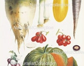 VEGETABLE PRINT Art Colored Original Book Plate 9 Beautiful Leek Grape Tomatoes Pumpkin Rasdish Spring Summer Garden Home Decor to Frame