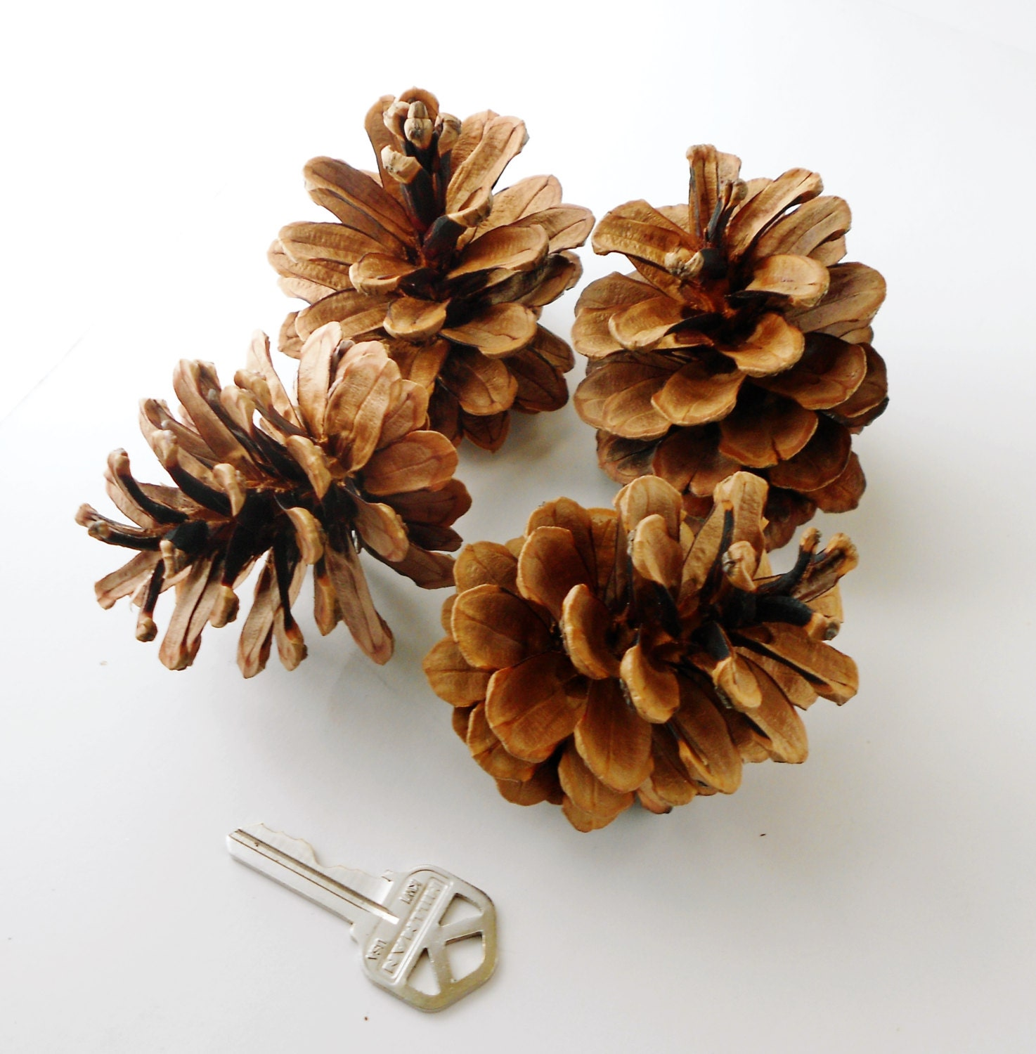 25 large pine cones handpicked for crafting for Large pine cones
