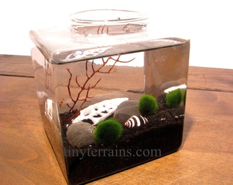 Modern Cube Marimo Moss Ball Terrarium: Choice of Several Different Colors