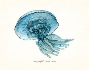 Vintage Aqua Blue Moon Jellyfish No. 5, Giclee, Art Print, Nautical Art, Beach, Coastal Art, Art Print, Illustration, Natural History Art