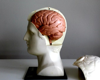 vintage medical human head and brain anatomy model Merck, Sharp and Dohme