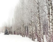 Winter Aspen Photography, Snowy Trees, Landscape Photograph, Vertical Wall Art Print |'The Lone Pine'