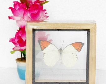 Real Single Butterfly The Great Orange Tip Taxidermy Double glass in framed/BTD01D