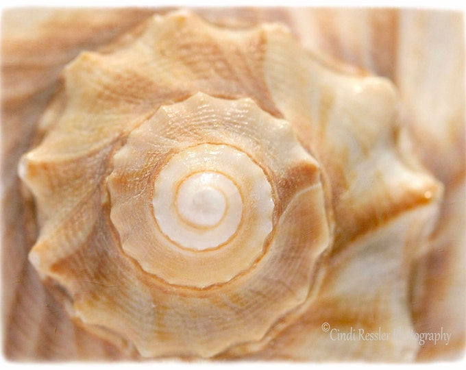 Lightning Whelk, Photography, Seashell Photography, Beach Photography, Nature Photography