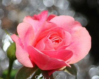 Pink Rose flower photography, pink and grey floral wall art, garden photography, rose photo, flower lover gift under 20