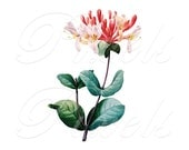 HONEYSUCKLE Instant Download, Large Digital Image, digital download wedding clipart, flowers clipart Redoute 048