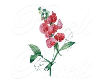 PEAVINE Instant Download Wedding Clipart Digital Downloads PINK FLOWERS botanical illustrations Redoute 106