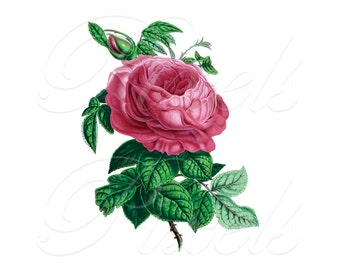PINK ROSE Instant Download wedding Digital images botanical illustration digital downloads 093