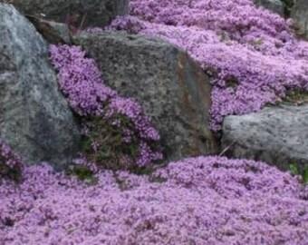 Lavender Creeping Thyme, Walk on Me, 1,000 Seeds, Perennial Flower, Lemon Scent