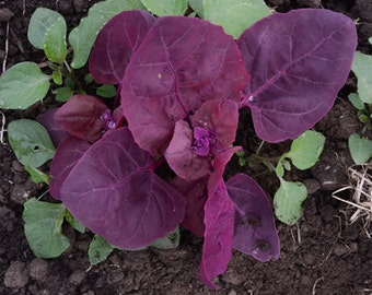 Heirloom Purple Orach Spinach, Non Gmo Seeds, Container Gardening, 25 Seeds
