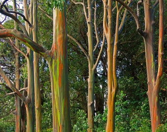 Maui Rainbow Eucalyptus Trees; Beautiful Naturally Painted Trees -  high quality affordable photograph