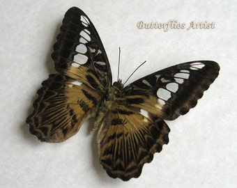 Forest Clipper Parthenos Sylvia Real Butterfly In Shadowbox