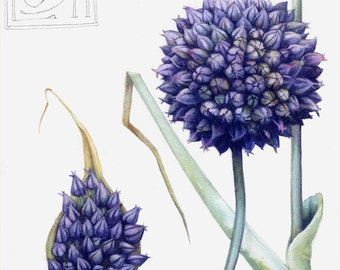 "Art print of blue garlic flower | 7"" x 10"" | Reproduction of botanical watercolour | Allium ampeloprasum, County Flower of Cardiff"