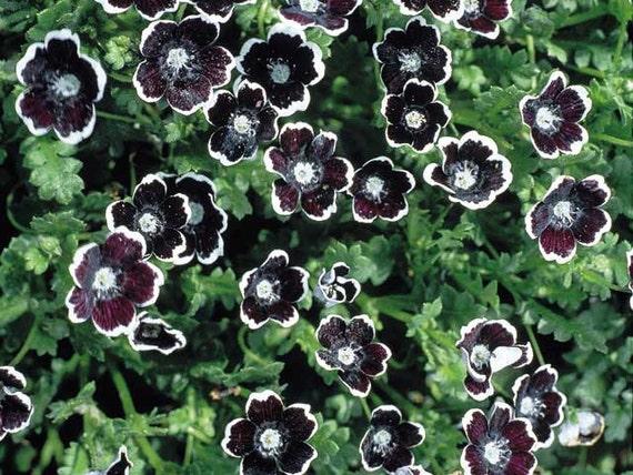 Penny Black Seeds Nemophila Discoidalis