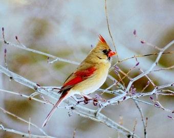 Female Cardinal Bird Photograph