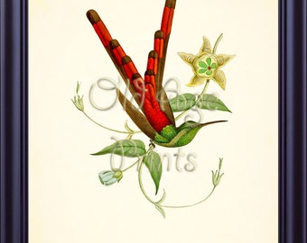 French HUMMINGBIRD Print Vintage Antique Botanical Plate 5 Beautiful Red Long Tailed Bird Yellow Flowers 8x10 Art Print Wall Decor BN0505
