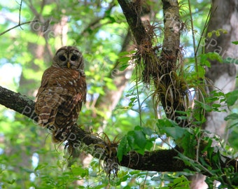 Barred Owl Photograph // Owl in Tree // Corkscrew Swamp Sanctuary Photography