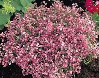 10 Seeds Gypsophila repens,  Alpine gypsophila
