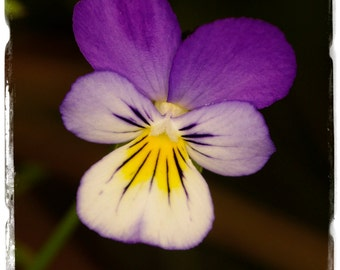 Viola tricolor 'Heartsease' [Ex. Co. Durham] 100+ SEEDS