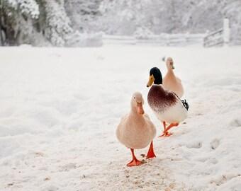 Ducks Walking in Snow, FREE GIFT, Ducks in Snow Photograph, Winter Scene Photograph, Nursery Photo, Duck Photography, Animal Photograph