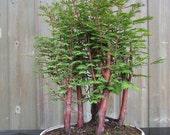 15 Dawn Redwood (Metasequoia Glyptostroboides) Seeds, Fresh Exotic Bonsai Seeds, Rare Bonsai Seeds