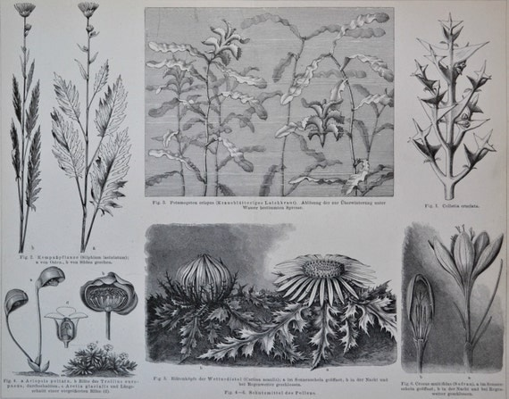 Plants protection mechanisms. Botany print. Old book plate, 1890. Antique illustration. 124 years lithograph. 9'4 x 11'7 inches.