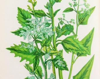 Anne Pratt Antique Botanical  Print - Goosefoot Species (175)