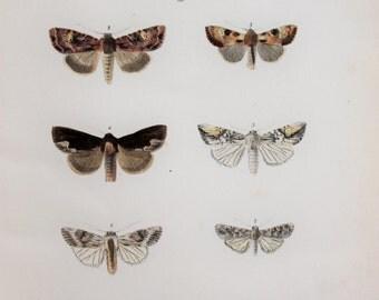 Antique Moth Print by Rev. F. O. Morris -  Brindle, Arches & Gothic Moths