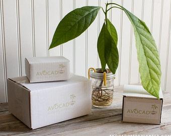 Avocado Seed Planter - With Jar