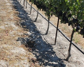 Napa Valley artwork/ photograph/ Vineyards in Napa Valley, California/ wine artwork/ wine decor/ wall and home decor/ bubbles/ vineyard