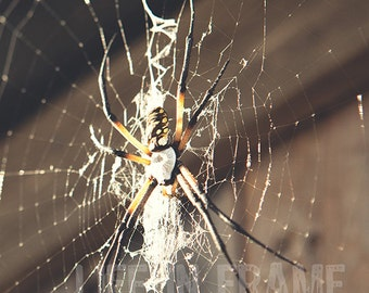 The Spider, Garden spider, spiderweb, color photography