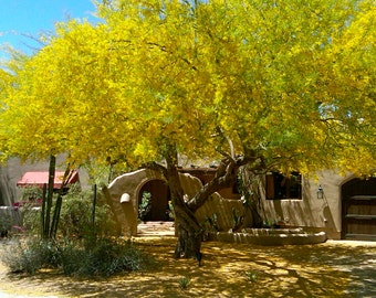 50 Fresh Blue Palo Verde Tree Seeds, Grown at Our Ranch in ARIZONA