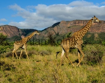Giraffes on the African Veldt
