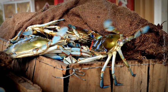 BLUE CRAB ~ Louisiana at Large Series ~ Seafood Industry ~ Restaurant Wall Art ~ Fine Art Photogaphy ~ Cajun Decor