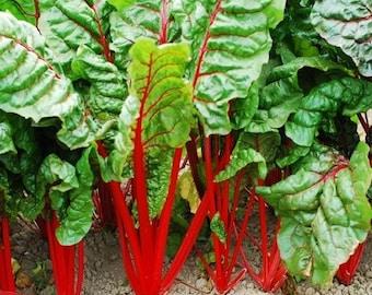 Swiss Chard Rhubarb Seeds (Beta vulgaris) 50+Seeds