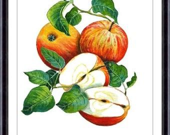 Apples - Original Watercolor Painting  -  Art Print of Original Warecolor Painting 152