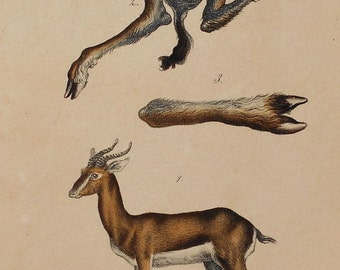 1833 Gazelle & Anatomy. Antique Handcolored Lithograph. Original. Natural History Almost 200 years old.