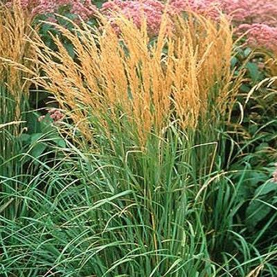 10 karl foerster ornamental grasses ten perennial plants for Short perennial grasses