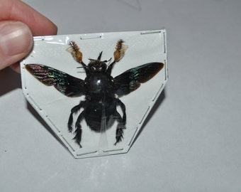 Carpenter Bees, Xylocopa latipes females from Java  Real Dried Insects