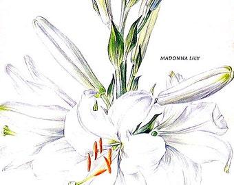 Madonna Lily Flower Print - 1969 Vintage Colored Botanical Illustration - 6 x 9 Book Page