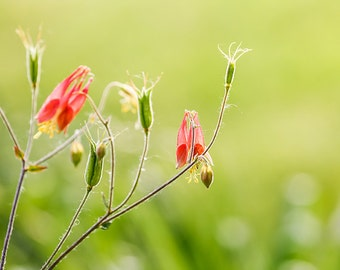 Columbine Flower Photo - Fine Art Photography -Delicate Wispy - Wall Art - Botanical
