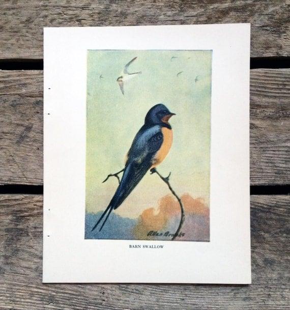 Vintage 1930s Barn Swallow Book Illustration For Framing